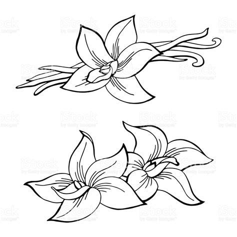 White Black Sketch vanilla pod flower graphic black white isolated sketch