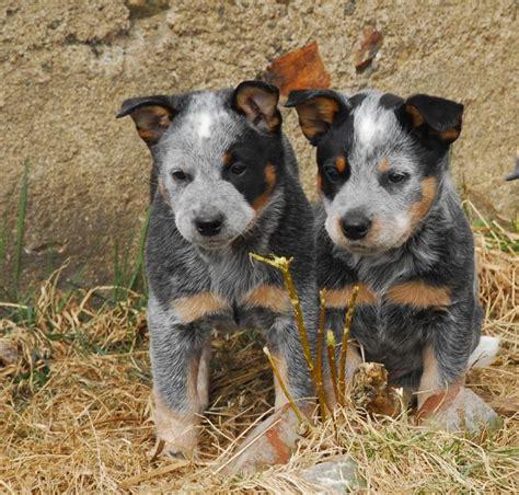pictures of australian cattle dogs australian cattle pups warren wills pixdaus