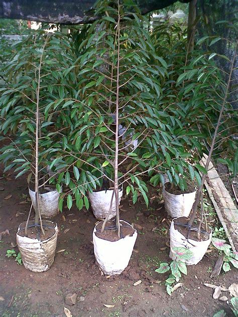 Harga Bibit Durian Bawor Siap Berbuah durian bawor jual bibit durian bawor bibit durian jual