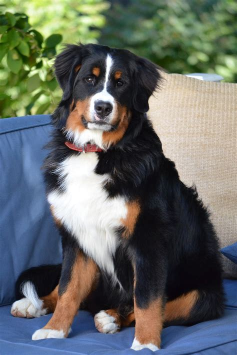burmese mountain bernese mountain info temperament puppies pictures