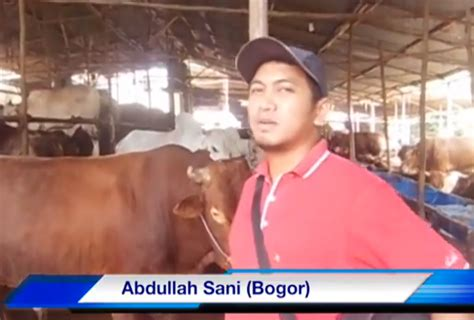 Tanam Jagung Pakan Ternak limbah tanaman jagung sebagai sumber pakan sapi
