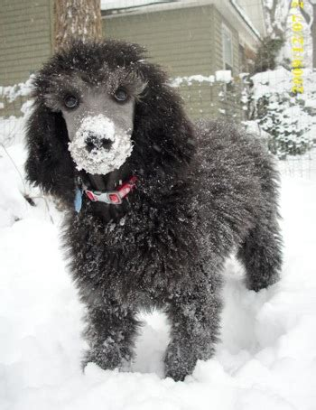can my teacup poodle get the standard poodle haircut 301 moved permanently