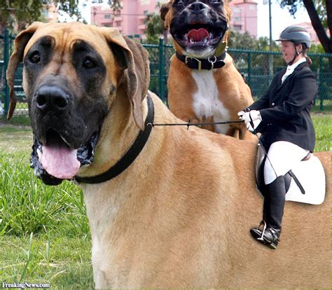 large dogs equestrian a big pictures freaking news