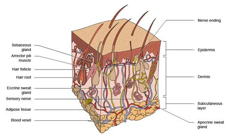 skin section diagram skin structure diagram to label worksheets releaseboard