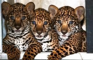 Information About Jaguars Image Gallery Jaguar Animal Habitat Information