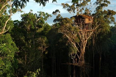 the korowai tribe live high above the ground in amazing