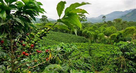 coffee plant wallpaper tasteful journey to sumatra coffee plantation top