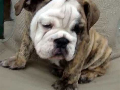 bulldog puppies for sale upstate ny bulldog puppies for sale in albany ny