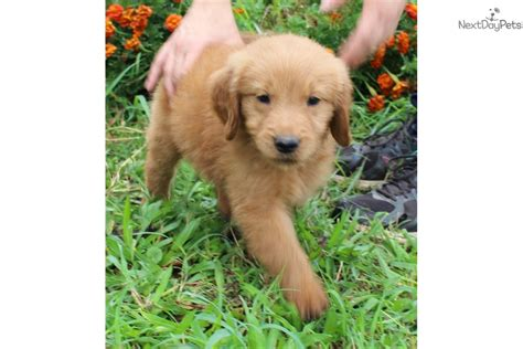 Goldendoodle Puppy For Sale Near Kansas City Missouri