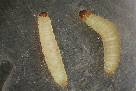larve in cucina mites larves photo et comment les traiter