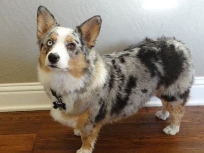 corgi australian shepherd mix puppies 25 corgi cross breeds you ve got to see to believe