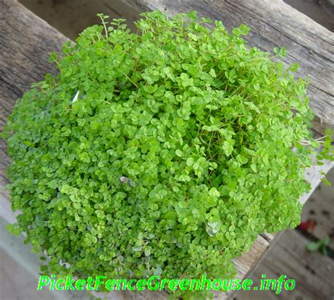 baby plants ground cover archives picket fence greenhouse gardens