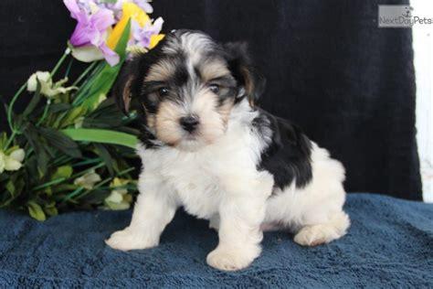 morkie puppies for sale near me morkie yorktese puppy for sale near lancaster pennsylvania 8a0f2cbe 9de1