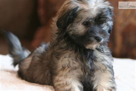 havanese puppies minnesota havanese puppy for sale near brainerd minnesota 788e2748 6ac1