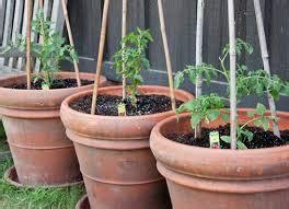 Bibit Jagung Manis Paling Bagus tabulot tomat bagus tanaman bunga hias