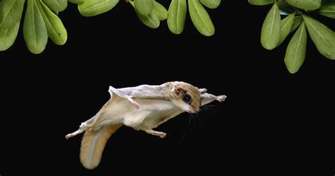 lo scoiattolo volante la straniera lo scoiattolo volante si aggira per new