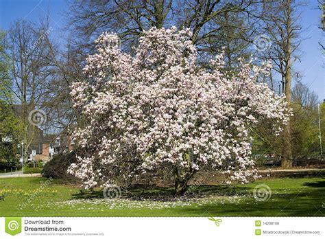 blooming magnolia tree royalty free stock photos image 14208198