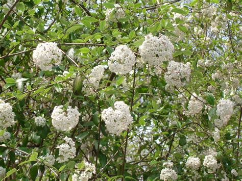 Kitchen Collection Hershey Pa early flowering shrubs 28 images the most beautiful