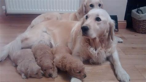 goldendoodle puppies for sale in essex quelques liens utiles