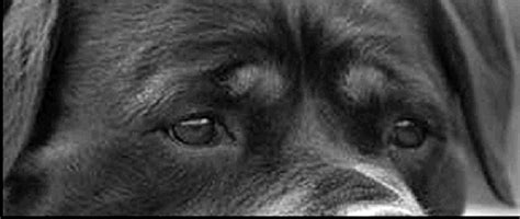 rottweiler eye discharge the rottweiler chronicle past articles of interest