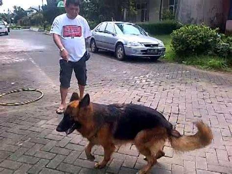 Pelatih Anjing cara melatih anjing babah hogi