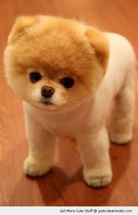 dogs like pomeranian pomeranians can get along wonderful with cats and also other animals particularly if