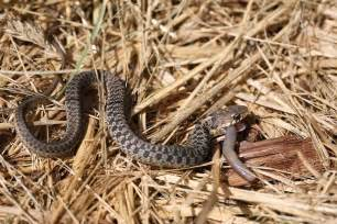 Garter Snake Giving Birth Common Gartersnakes Giving Birth Naturally Curious With