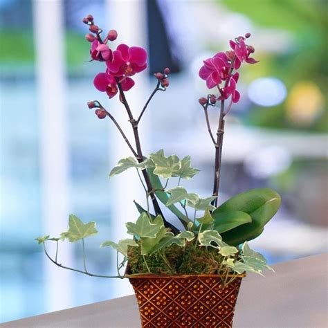 come curare le orchidee in vaso coltivazione orchidee in vaso 28 images come prendersi