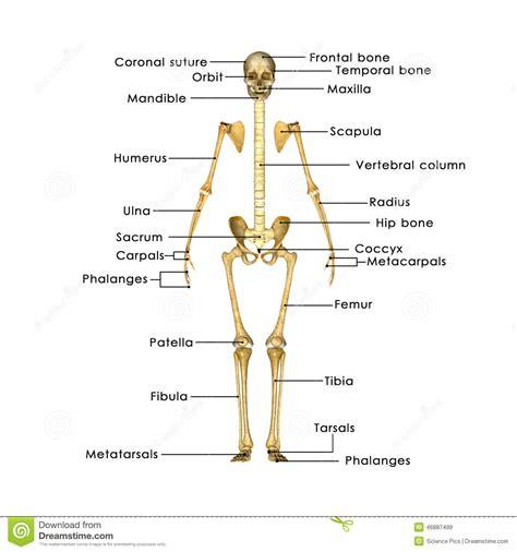 ossa della gabbia toracica scheletro senza gabbia toracica illustrazione di stock