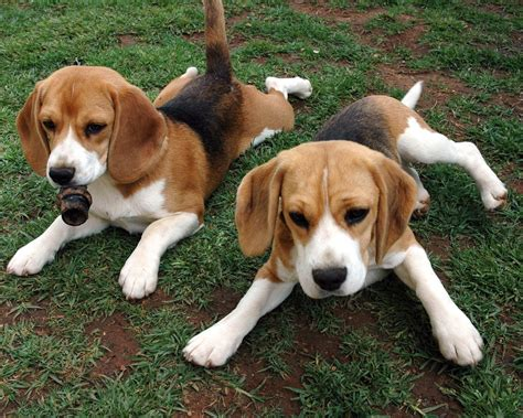 american foxhound puppies american foxhound puppies photo and wallpaper beautiful american foxhound puppies