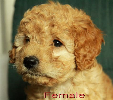 mini labradoodles ontario labradoodle 5 puppies for sale dogs for sale in