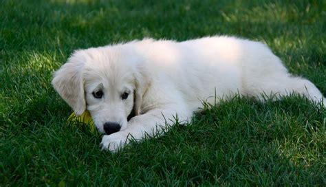 imagenes en blanco de animales cachorro blanco la casita de alicia gabitos
