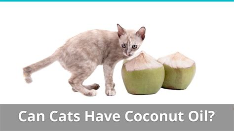 pros and cons of cats pros and cons of giving coconut oil to your cat safe or bad
