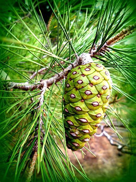 australian pine tree cone by viva anderson