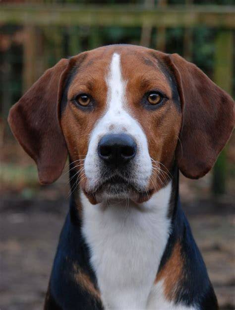 17 Best ideas about American Foxhound on Pinterest ...