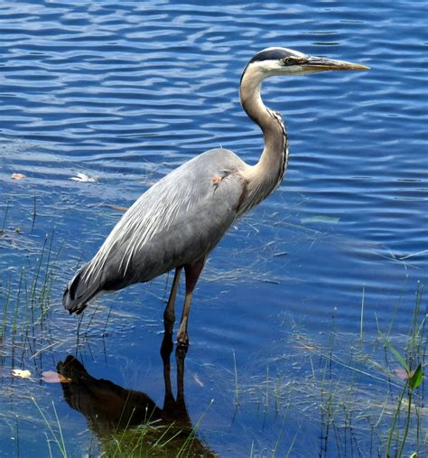 Great Blue Heron New Hshire Garden Solutions Blue Heron