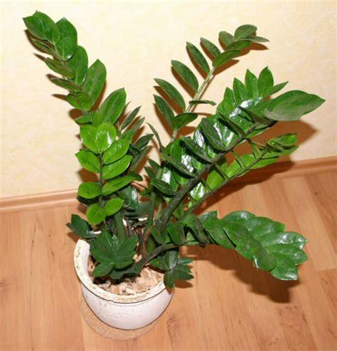 Garden Flowers A Z Zz Plant Zamioculcas Zamifolia Our House Plants