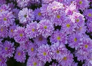 purple mums photograph by randy roark