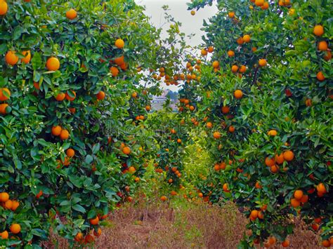 patio orange tree orange trees garden of oranges stock image image of