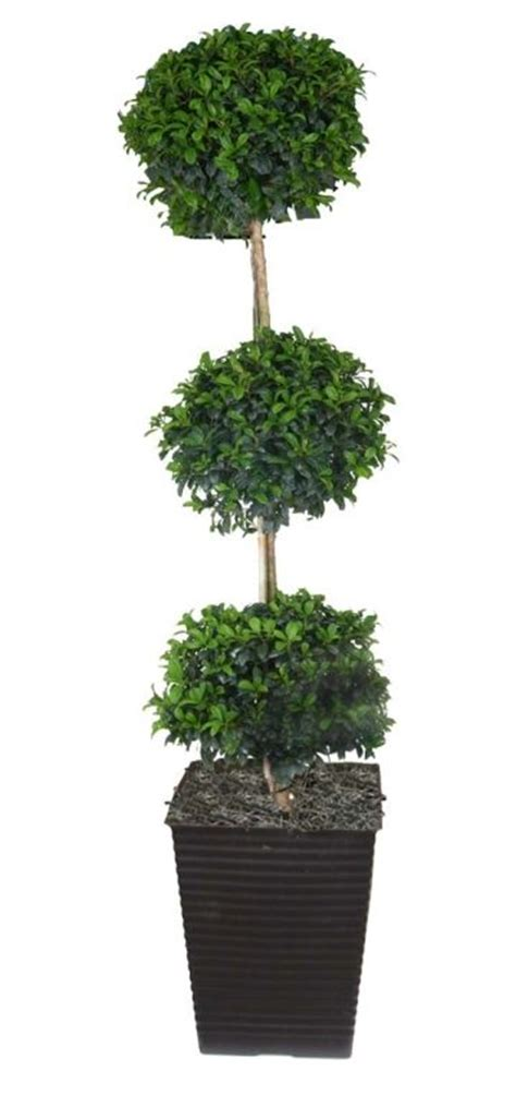 topiary tree care 25 best ideas about eugenia topiary on small