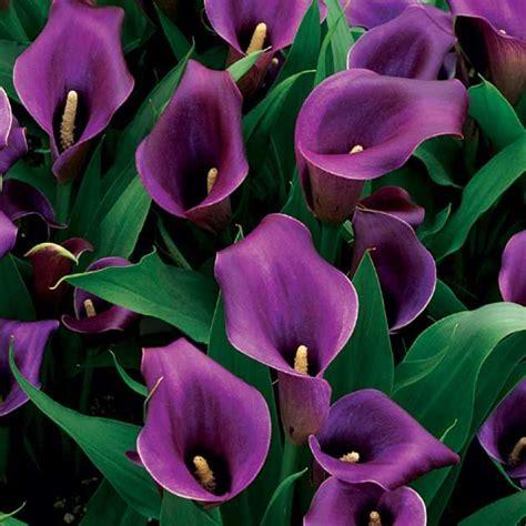 25 best purple calla lilies ideas on pinterest purple