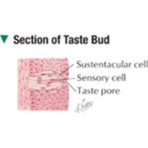 taste buds sections section of taste bud