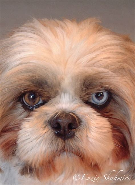 shih tzu eye color 1000 images about cool eye colors on eye color cool and o hara