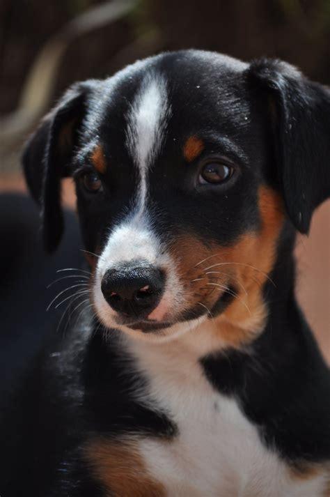 appenzeller mountain 25 best ideas about appenzeller sennenhund on appenzeller sennenhund
