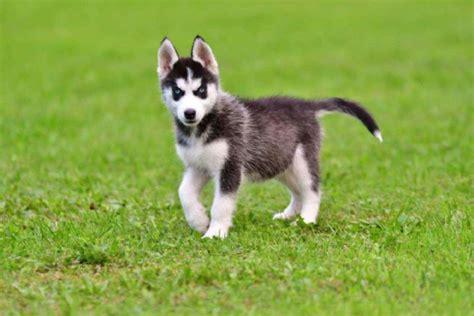 vendita husky da privato a pordenone cani husky in