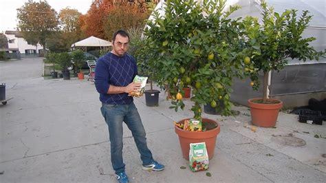 limone 4 stagioni in vaso pianta di limone 4 stagioni grande alta 200 cm in vaso di