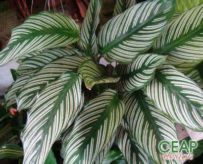 Tanaman Calathea White Fusion calathea ornata plants in my yard plantas