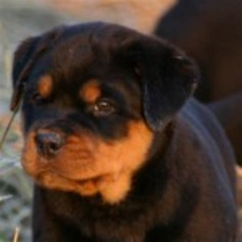 rottweiler breeders hawaii rottweiler puppies x free images at clker vector clip royalty free