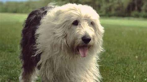 types of sheep dogs all about sheepdog breeds petcarerx