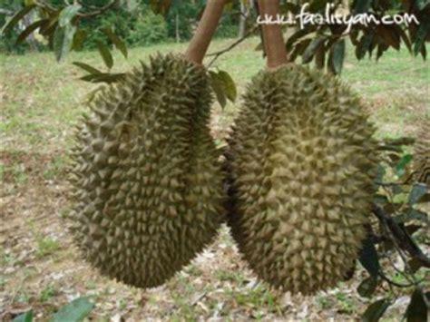 Bibit Durian Udang Merah segalanya tentang tumbuhan